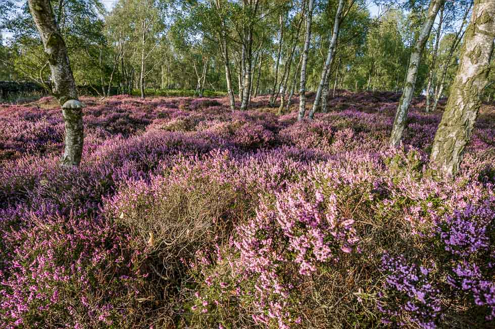 Colours of Heather, gardom's Edge